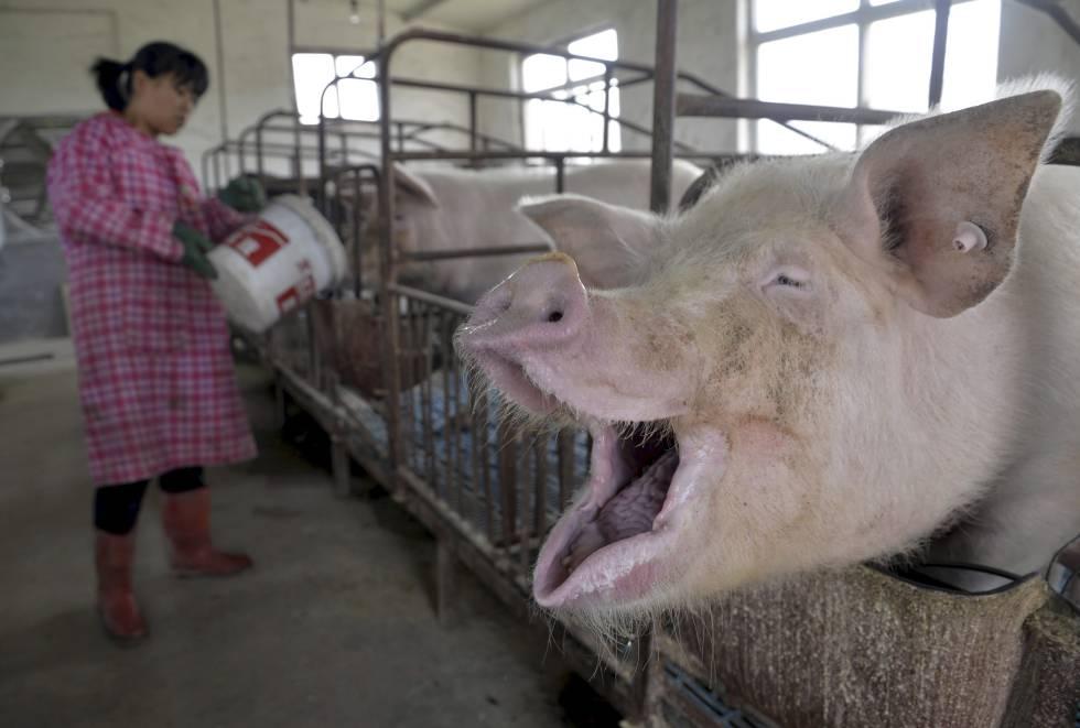 Uma mulher dá água a porcos em uma fazenda de Liaocheng, na China.