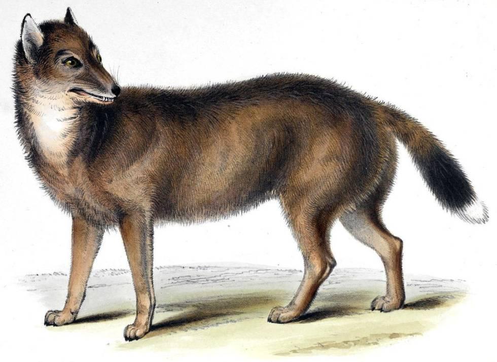 El Lobo De Las Malvinas Que Desconcertó A Darwin En Realidad Se