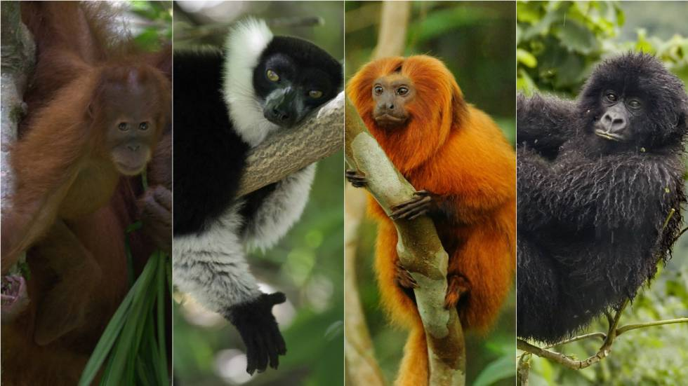 Un orangután de Sumatra, un lemur de Madagascar, un tití león dorado de Brasil y un gorila de las montañas congoleño.