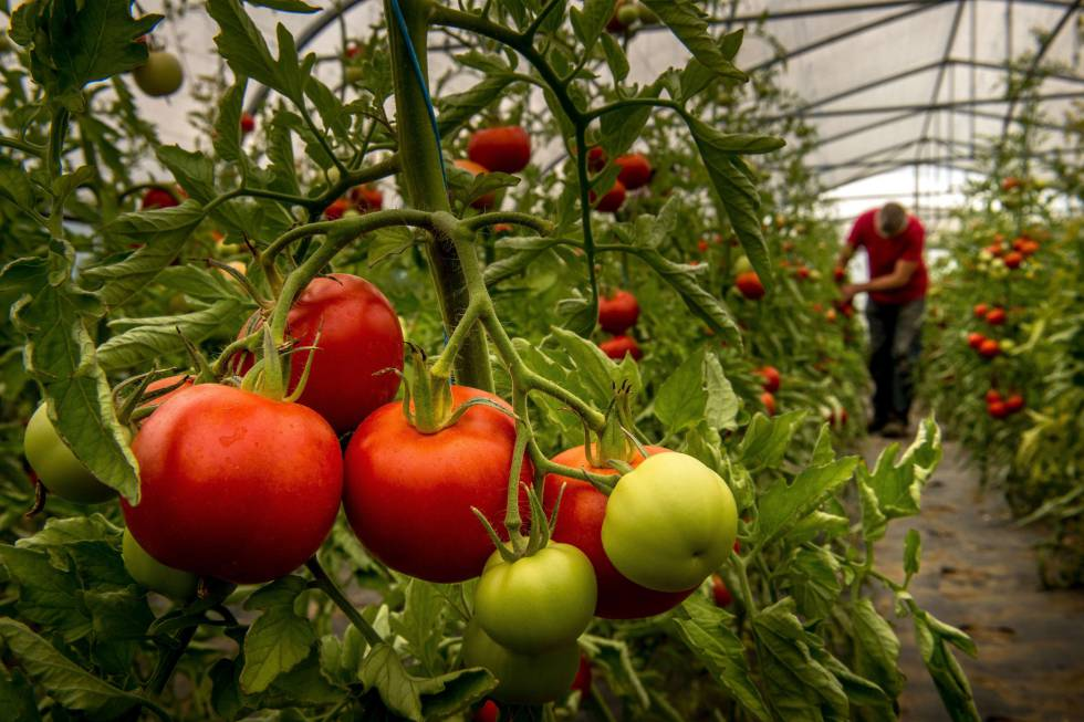 Indoor-grown tomatoes at a farm in France.