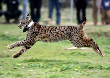 Iberian Lynx returns to Madrid region after 40 years