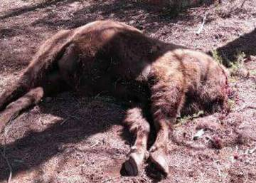 Poison found inside Spanish preserve where bison was decapitated