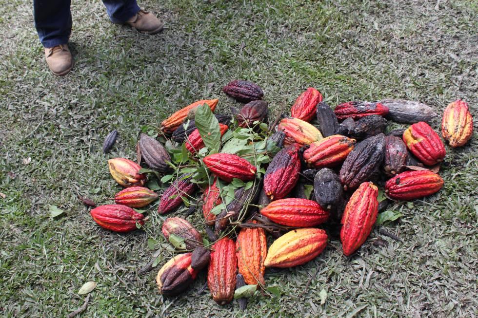 Los campesinos fueron aprendiendo que tenían que preocuparse por producir cacao de calidad.