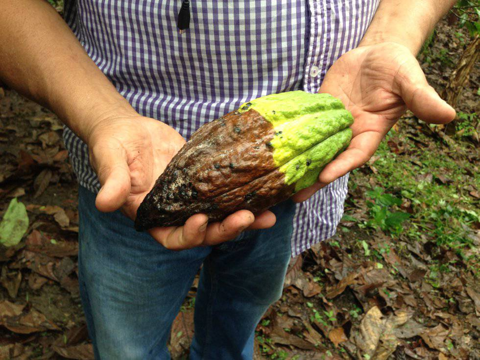 La moniliasis del cacao es una enfermedad causada por una plaga. Se hace explícita con manchas largas y deformaciones en las mazorcas.
