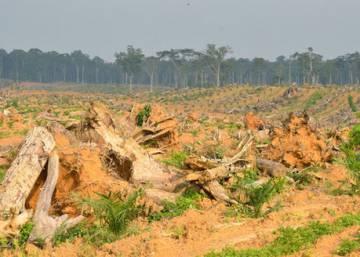 El aceite de palma está matando la selva