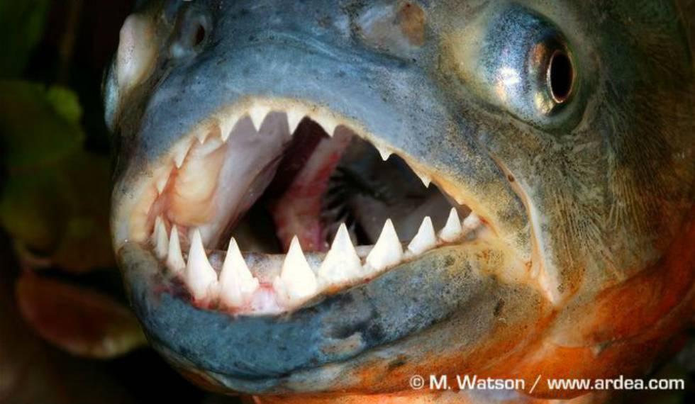 O Peixe Mais Feroz Do Mundo A Injusta M Fama Da Piranha