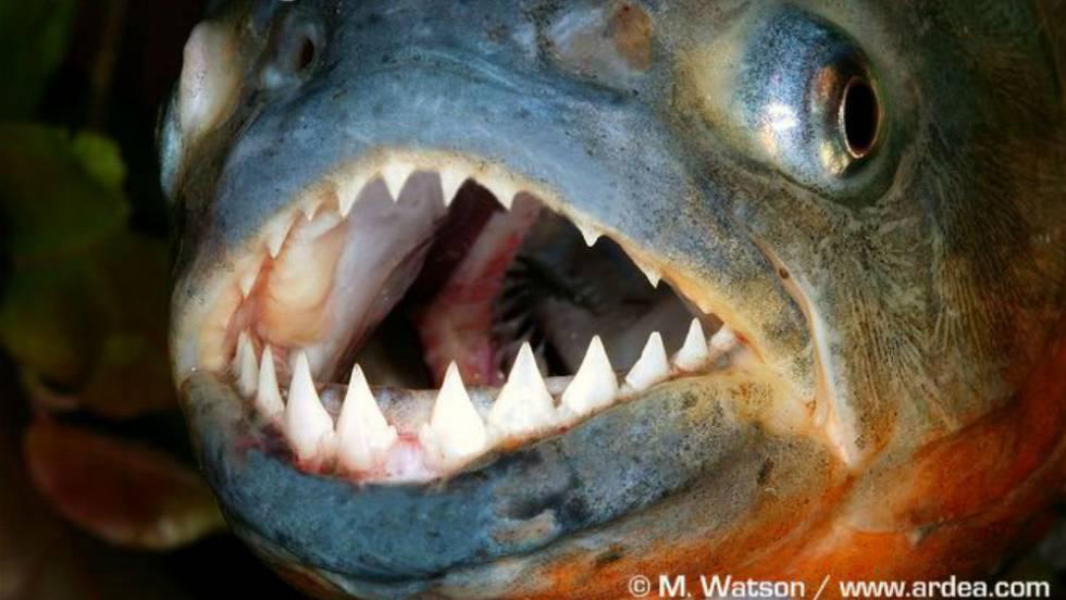 """La inmerecida mala fama del """"pez más feroz del mundo"""""""