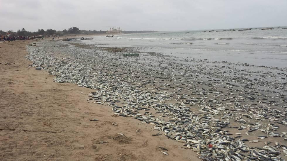 Peces muertos en la playa de Gunjur, en Gambia.
