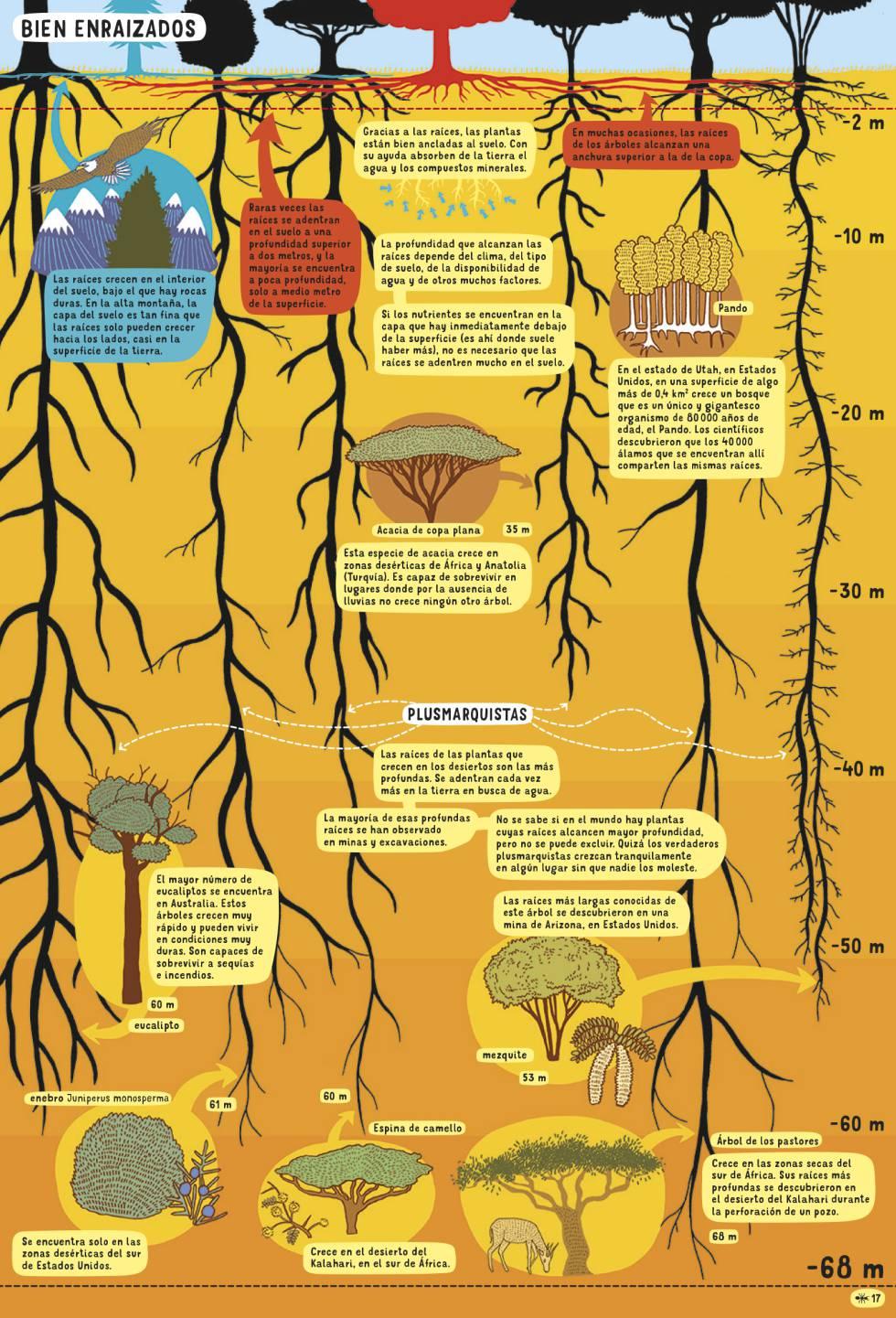 Resultado de imagen para Un árbol del desierto tiene las raíces más profundas: 68 metros