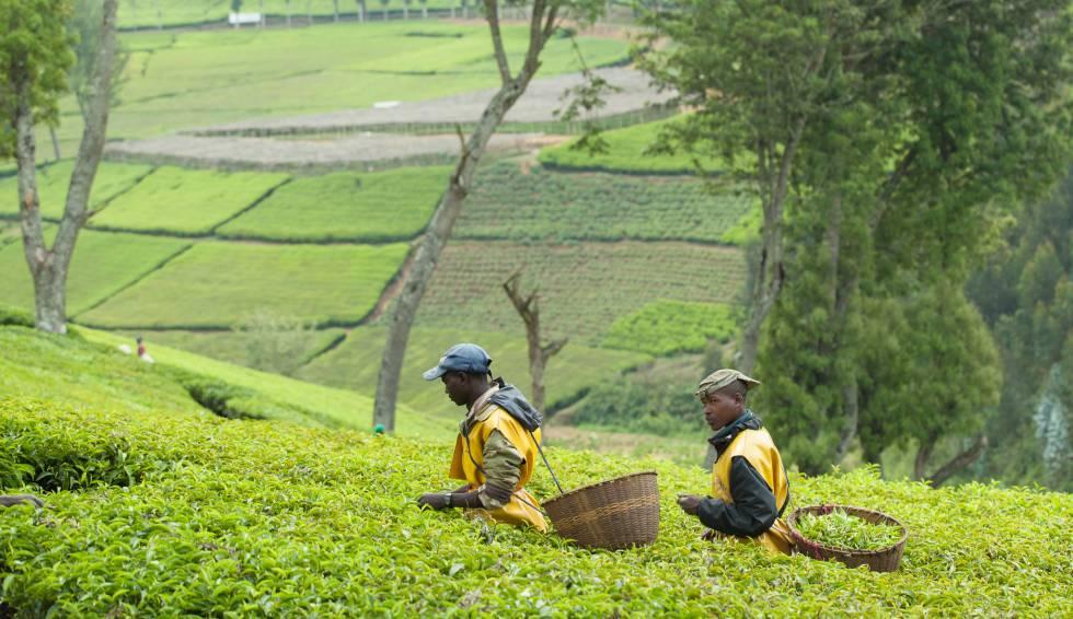 Cultivos de té en Kitabi, Ruanda.rn