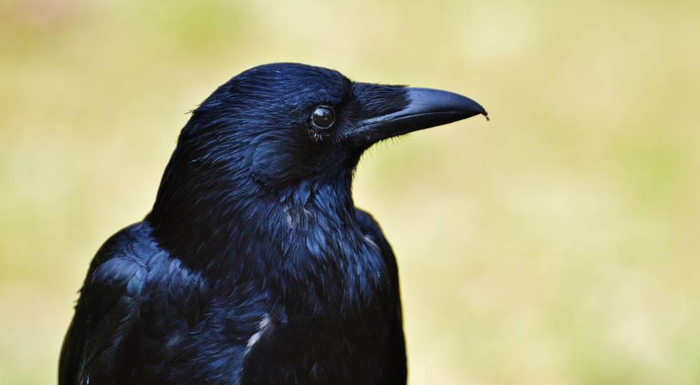 dotado cuervo