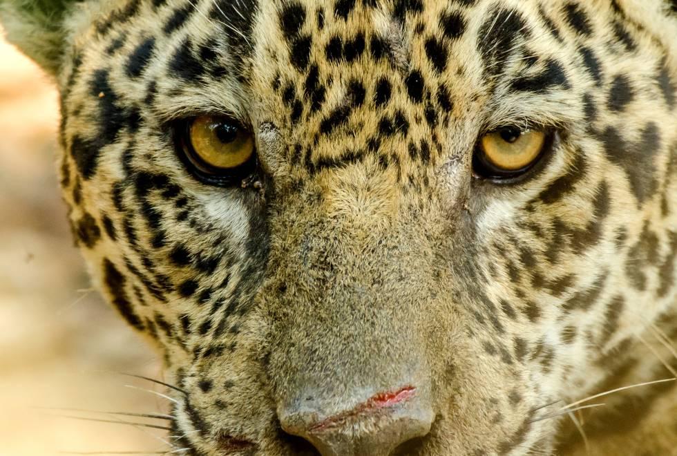 Un Leopardo Devora A Un Niño De Tres Años En Un Parque De Uganda Blog Mundo Animal El País