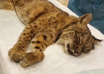 After a month in the wild, tired and thin, Fran the lynx makes it home