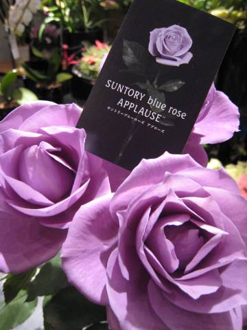 La rosa supuestamente azul de Suntory y Florigene.