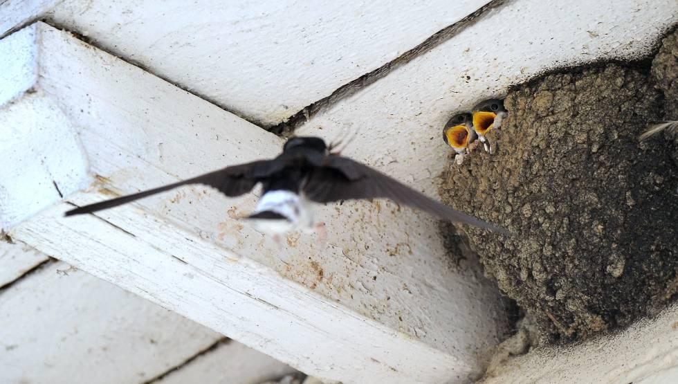 Una golondrina alimenta a sus dos crías.