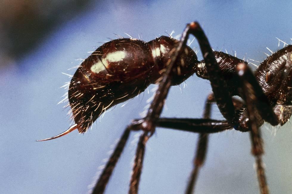 El beso atroz de la hormiga bala | Blog Viajero Astuto | EL PAÍS