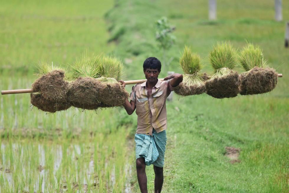 Un campesino trabaja en un campo de arroz en Guwahati, al noreste de India
