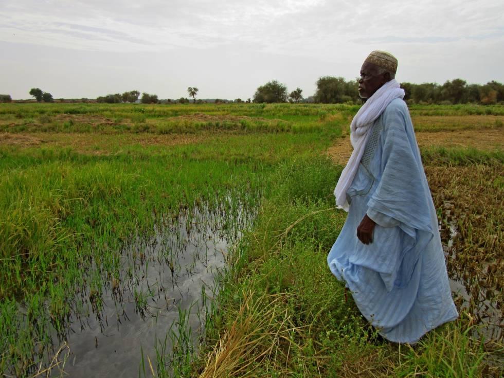 El jefe tradicional Samba Diba Sow contempla los arrozales de Lerabé, al norte de Senegal.