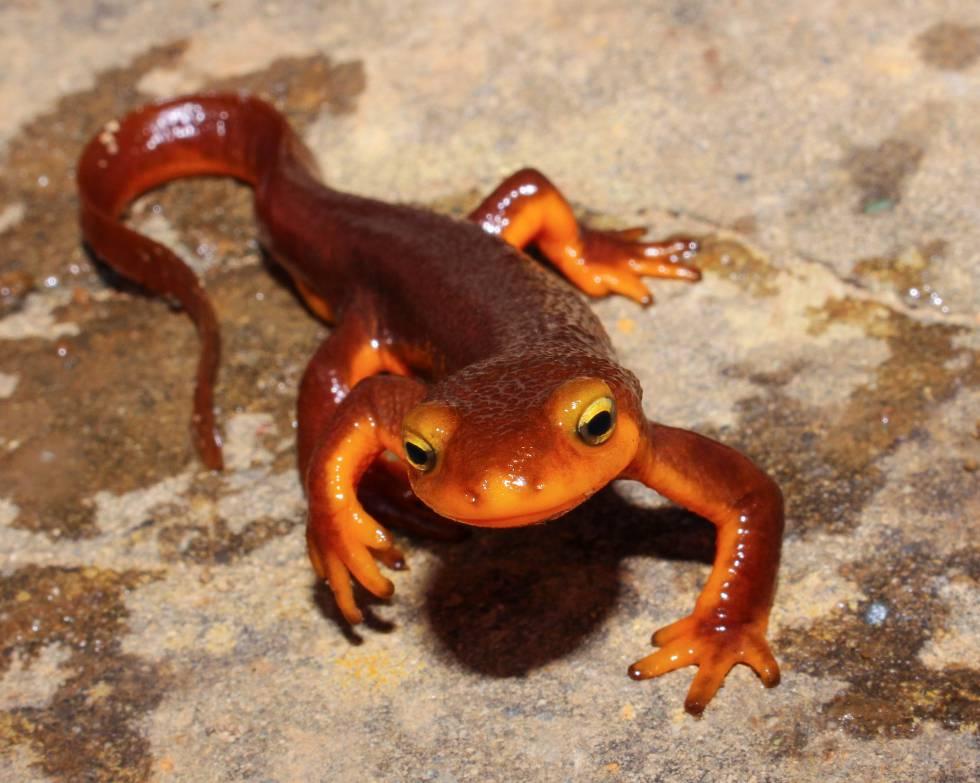 Ejemplar de tritón de California, uno de los anfibios más venenosos que existen.