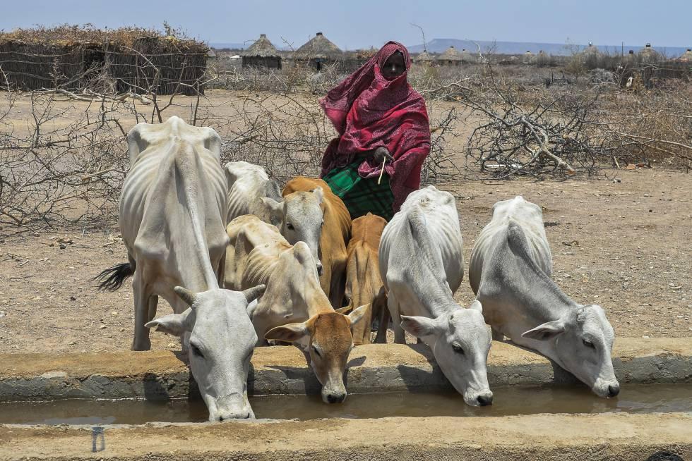 Una mujer observa cómo varios animales abrevan en la región de Somali, en Etiopía.