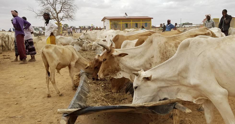 Varios animales comen en un complejo de Naciones Unidas en el distrito de Danan (región de Somali), en Etiopía.