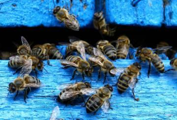 El catálogo nacional de especies amenazadas solo incluye 90 de invertebrados, de los cuales 35 son insectos y únicamente 17 tienen un categoría de amenaza que permite activar planes de recuperación.