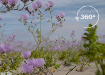 In a 360º video: The spectacular flowering of Chile's Atacama Desert