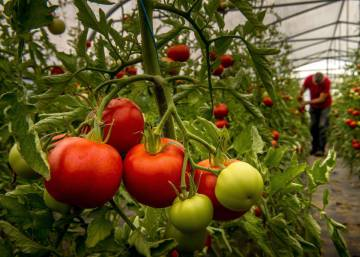 Finding a solution for supermarket tomatoes that don't taste like tomatoes