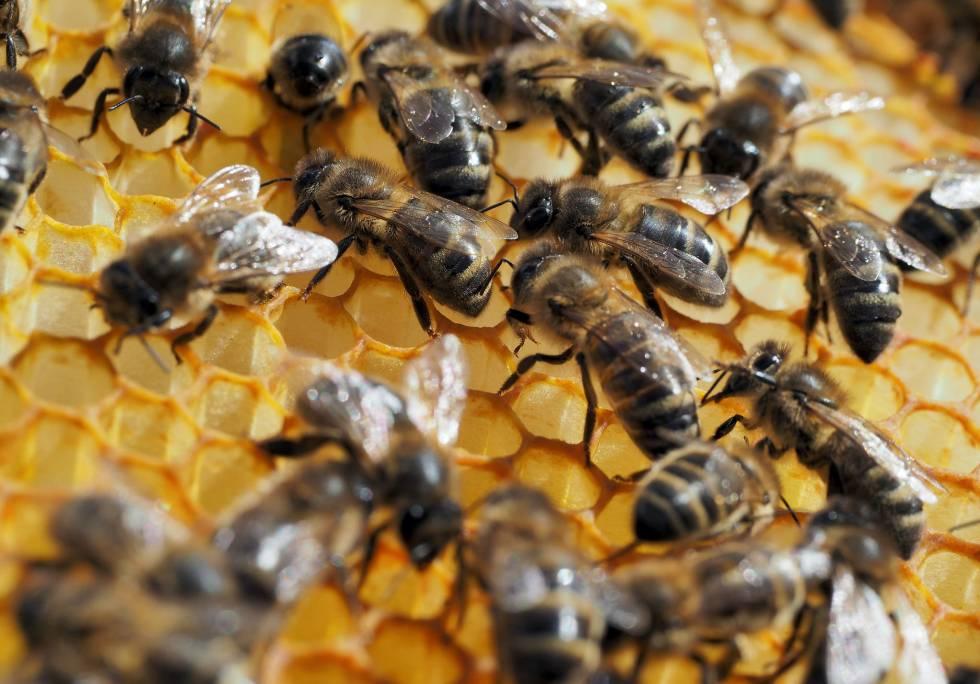 Los pesticidas pasan al sistema nervioso de las abejas al libar el néctar.