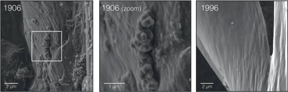 Imagen con microscopio electrónico de las plumas de un gorrión de campo de 1906 y otro de 1996.