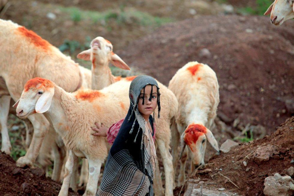 Una niña junto a ovejas exhibidas para la venta a lo largo de una carretera en Islamabad, Pakistán, el 25 de agosto.