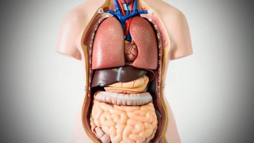 Siete órganos sin los que puedes vivir