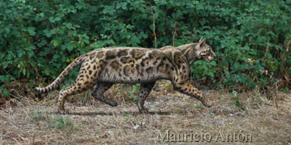 Recreación de 'Leptofelis vallesiensis', un felino esbelto que vivió en la península ibérica hace alrededor de 9,5 millones de años.