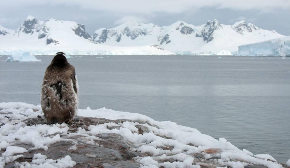 Un pingüino contempla la Bahía Paraíso, en la Península Antártica.
