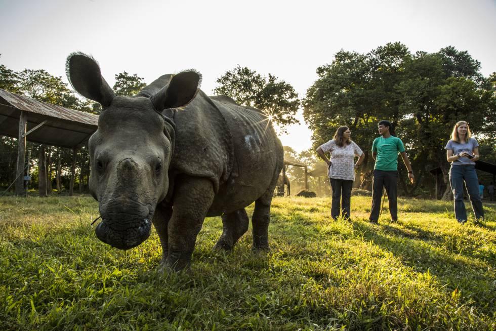 Un rinoceronte indio, atendido por el equipo veterinario de la ONG VIEW.