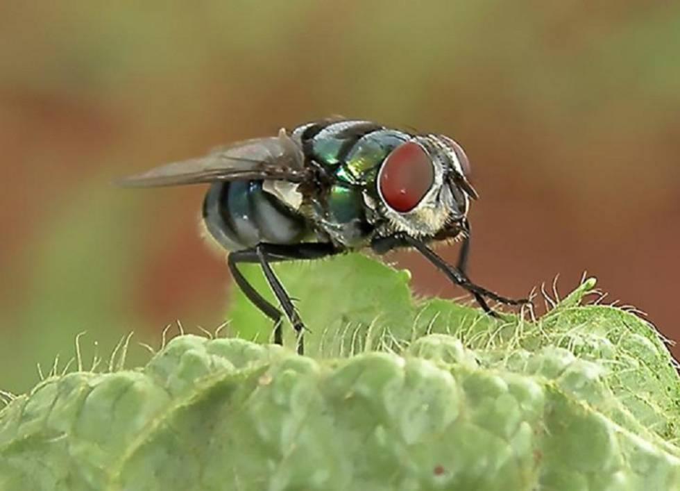 Los científicos utilizaron la microscopía electrónica para observar dónde se adherían las bacterias a las moscas