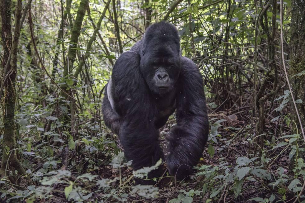 Un espalda plateada de 25 años en el parque nacional Virunga (RDC), donde vive un tercio de los 900 gorilas de montaña que quedan en el mundo.