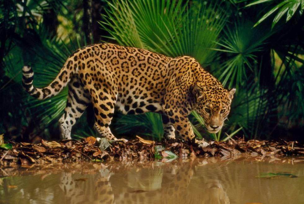 Una jaguar en Belice.