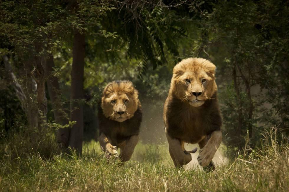 Pareja de leones macho en un parque nacional africano.
