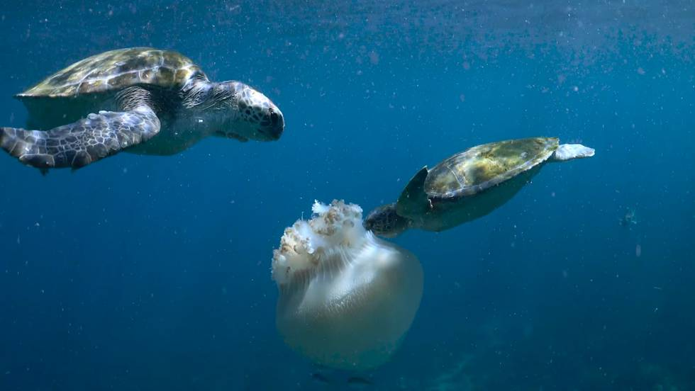 Dos ejemplares de tortuga verde comiéndose una medusa.