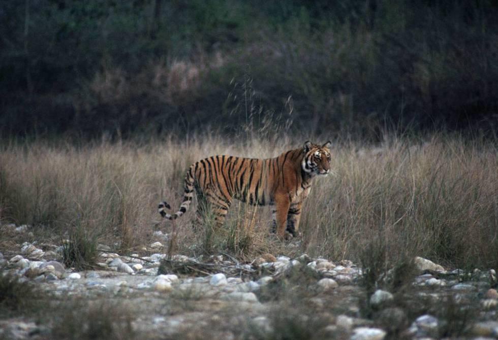 Un tigre de Bengala en el parque nacional de Jim Corbett, en Uttarakhand (India).