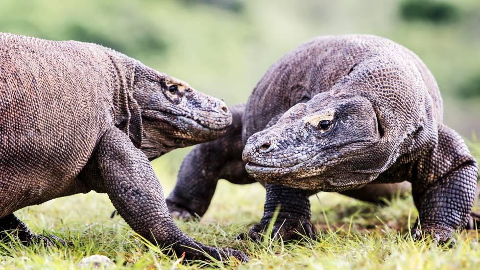 Dos dragones de Komodo intercambiando impresiones.