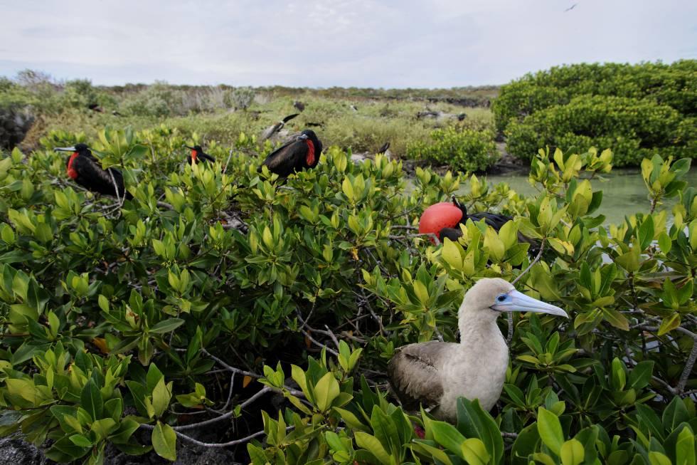 Fragatas y piqueros en las islas Galápagos.