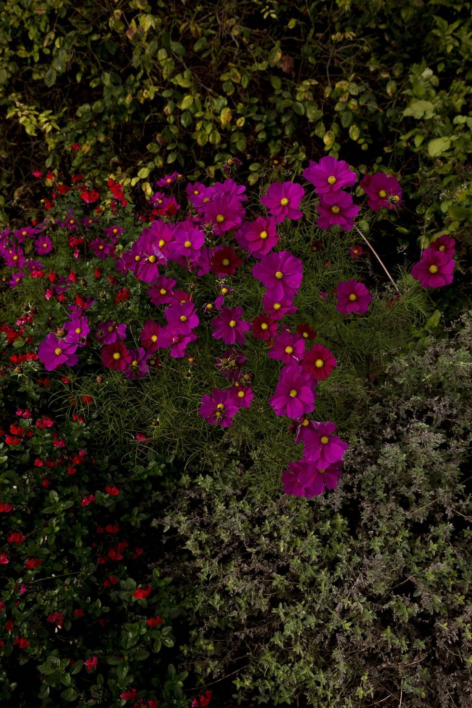 Exemplares de Cosmos Rubenza, presentes no jardim da New College que Lane Fox supervisiona.
