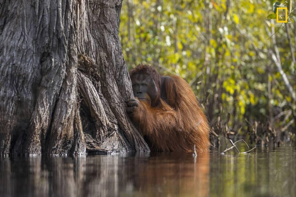 Un orangután macho mira desde detrás de un árbol mientras cruza un río en Borneo, Indonesia.