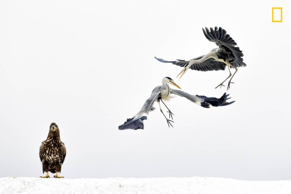 Dos garzas luchan junto a un águila.