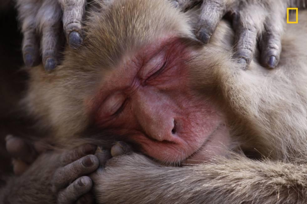 Un macaco disfruta en un manantial de aguas termales.