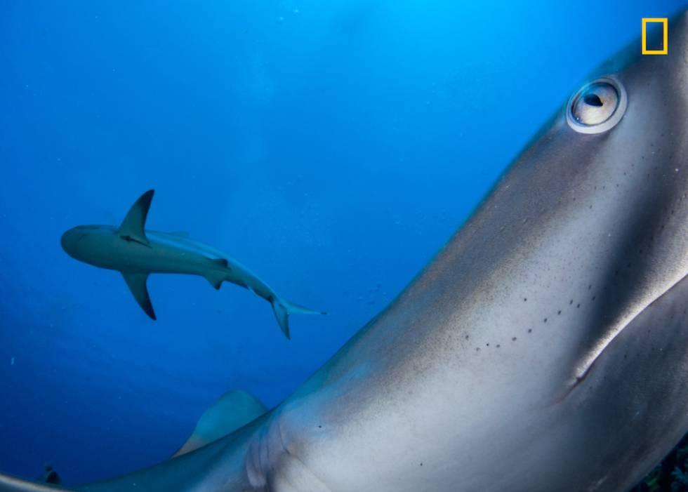 Un tiburón de arrecife del Caribe en Cuba.