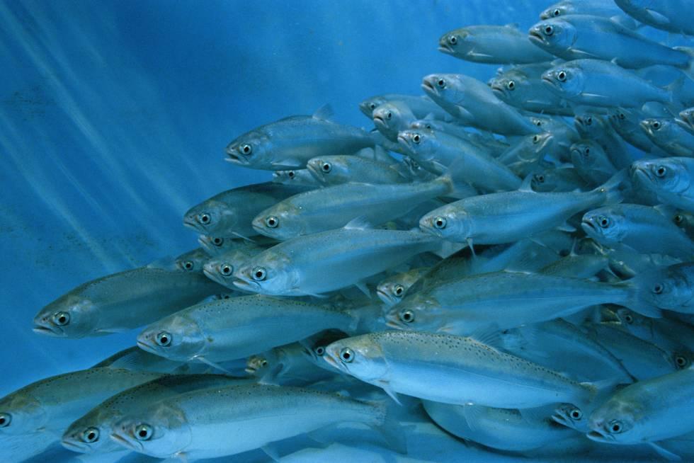 Salmones en una piscifactoría.