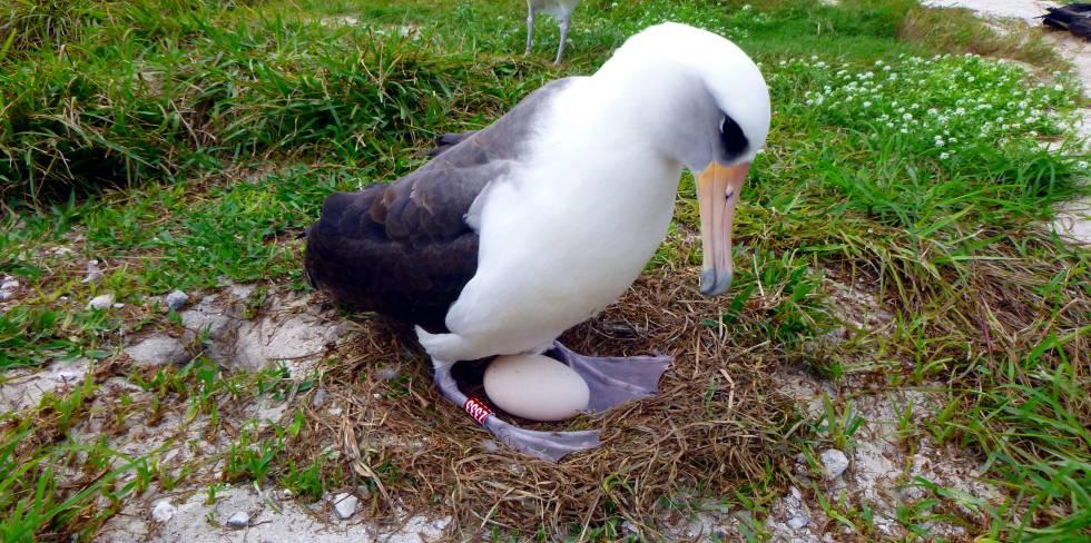 Resultado de imagen para albatros ave huevo